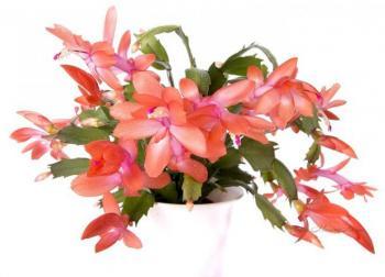 """Фотоконкурс """"Комнатные растения"""". Поздравляем победителей. 57d41cf62ffe414bad332e4973c08e24"""